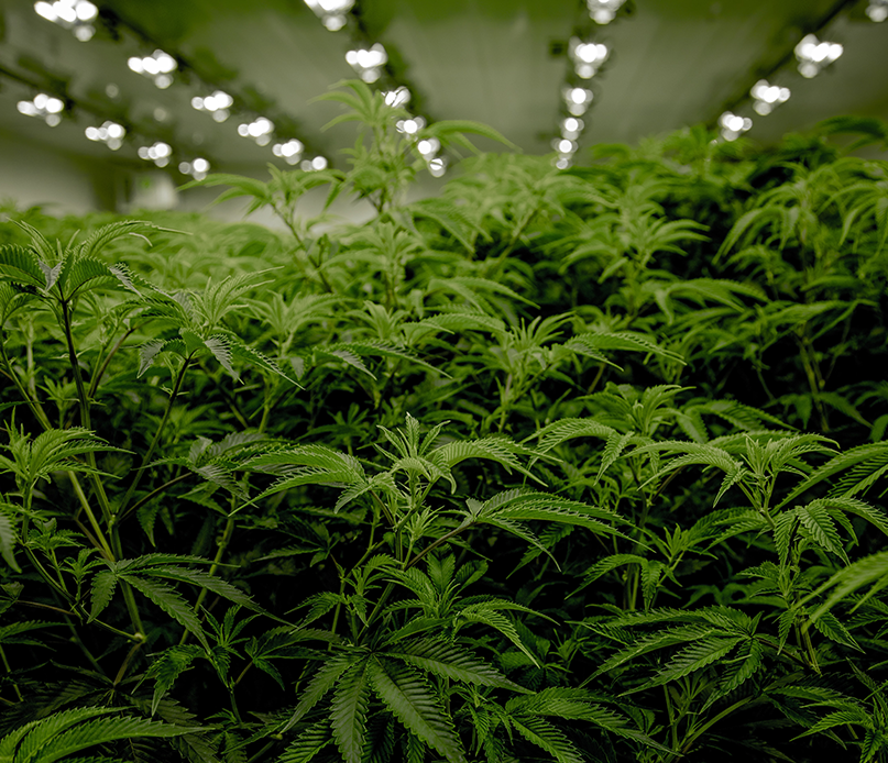 Indoor cannabis crop warehouse